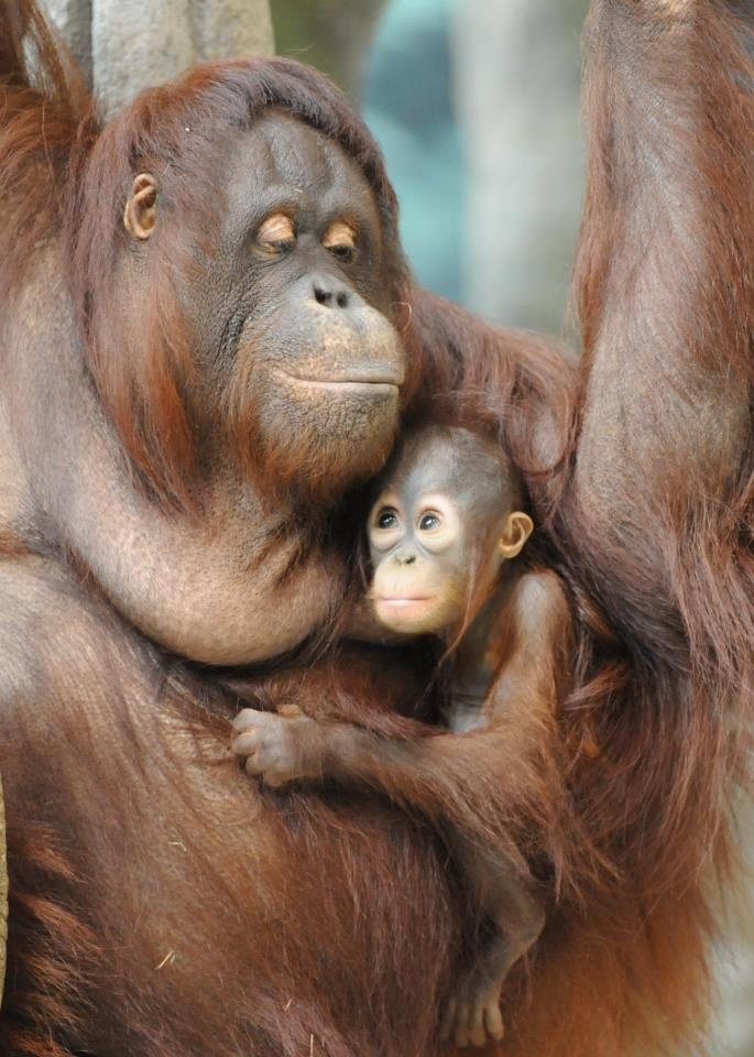mom and baby Orangutang,  Orange