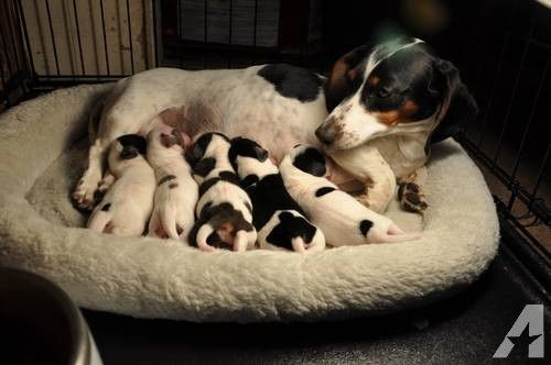piebald dachshund breeders | CKC PIEBALD MINIATURE DACHSHUNDS for sale in Saint Johns, Michigan