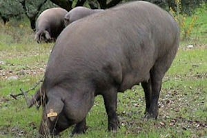 Iberico varken - Spaanse specialiteit!