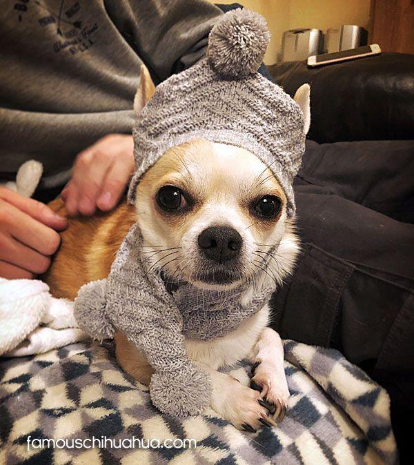 Chico The Famous Chihuahua Chihuahua Dan Anjing Chihuahua