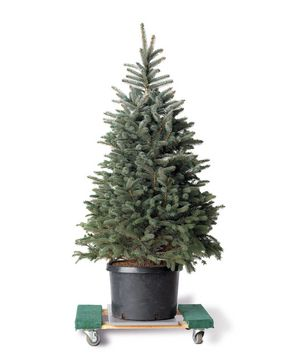 Potted evergreen tree.  Buy a real tree and  still be environmentally responsible!  Plus, a fun activity for you and your family post-holidays.  #Christmastree #diy #smart