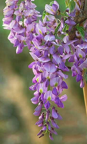 Wisteria (gorgeous flowers & strong climber. Beware: sometimes TOO strong. Paulonia tree has similar blooms, too.