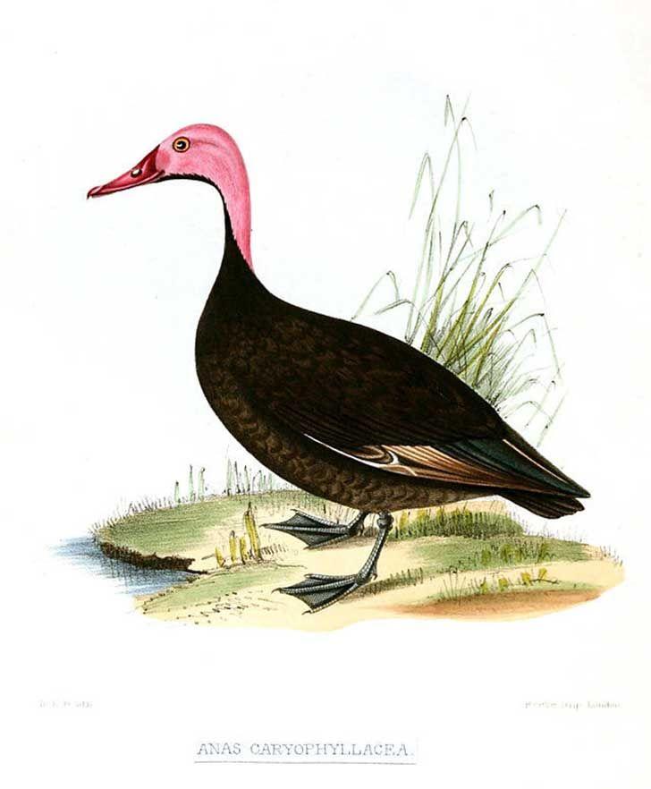 Extitnto en 1949. Pato de cabeza rosada. Rhodonessa caryophyllacea.