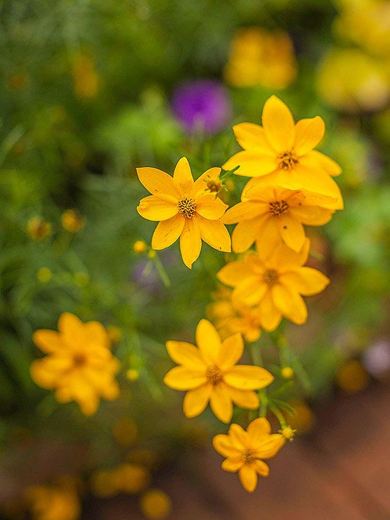 Coreopsis. One of the easiest-care perennials. Long bloomer, starting up in summer and continuing through autumn. Daisylike flowers bloom in bright yellow, but there are also varieties with golden yellow, pale yellow, pink, or bicolor blooms. Deadhead flowers to encourage additional bloom. Zones: 3-9.