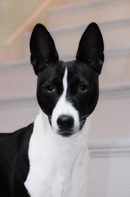 Basenji by jezandia, via Flickr