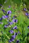 Baptisia australis (Blue Wild Indigo); my favorite false indigo.  Plants and seeds available here.