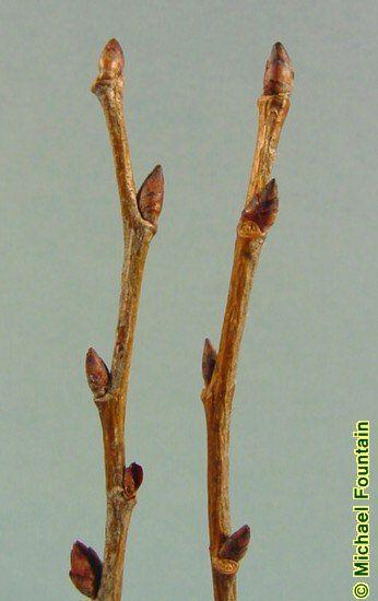 Ulmus Americana Twig twig   ... Twig showin...