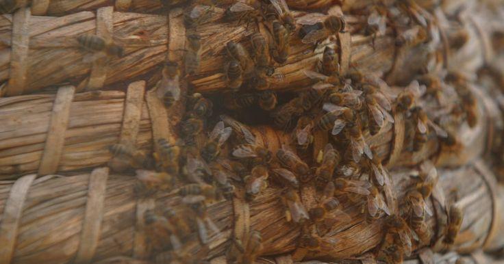 """Cómo quitar un enjambre de abejas. La aglomeración en un panal con frecuencia deja poco lugar para la reproducción, así que algunas abejas forman un """"enjambre"""", se juntan y se van de su casa, para encontrar un nuevo hogar. Un enjambre está formado por tabajadoras, zángamos y una reina. Para remover el enjambre que se ha asentado en tu casa, puedes seguir estos pasos."""