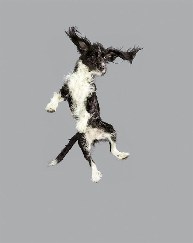 Fotógrafa capta cães no ar em série divertida-Pelos ao vento, cara de surpresa e patas perdidas no ar. Assim é a série Freestyle, da fotógrafa Julia Christe, em que cãezinhos dos mais diversos tamanhos e tipos aparecem em pleno voo – ou seria queda?