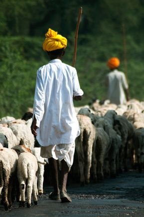 Shepherd with grazing sheeps #travelphotographersDelhi #travelphotography #mukeshkapurphotography