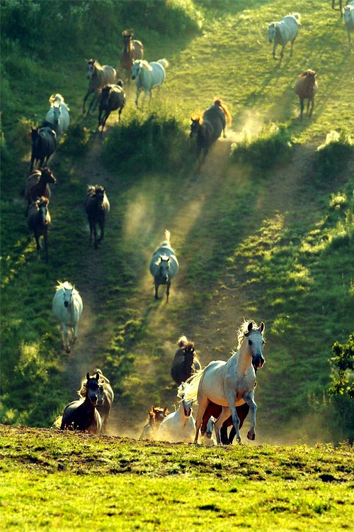 Oh, I'd have loved to have been there when this picture was taken! How thrilling to see all those magnificent horses running. <3