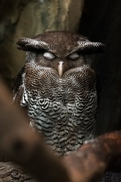 Beautiful Nature Picture of Wise and Cute Owl Sleeping.