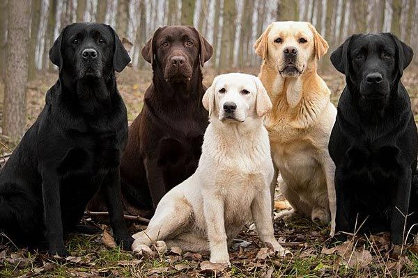 The Best Labrador Color Black Chocolate Yellow Or Silver Labrador Retriever Loyal Dog Breeds Labrador Dog