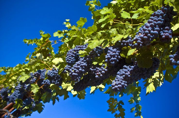 images grapes | Grapes Tree Wallpaper - HD Widescreen Wallpapers