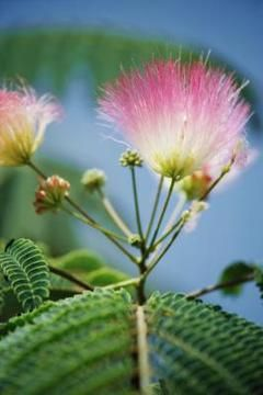 How to grow mimosa trees from seed. They grow about 36 inches per year!  So pretty and the pink flowers smell wonderful...