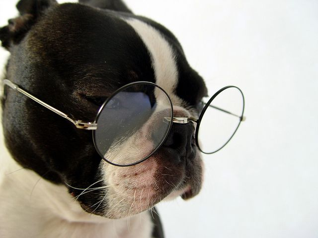 Deserves to be a meme.: Animals, Dogs, Glasses, Pet, Boston Terriers