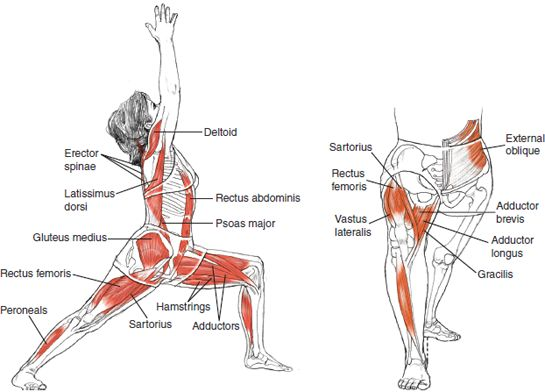 Warrior 1 - Leslie Kaminoff Yoga Anatomy Illustrated by Sharon Ellis