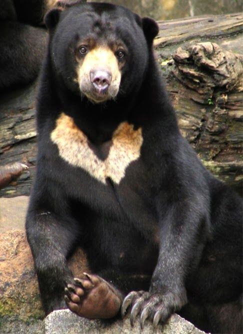 The sun bear (Helarctos malayanus) is a bear found in tropical forest habitats of Southeast Asia.