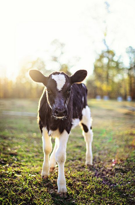 Baby cow! ...I wasn't raised on a farm, but I was raised