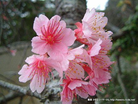 寒緋桜[季節] - 雲行雨施