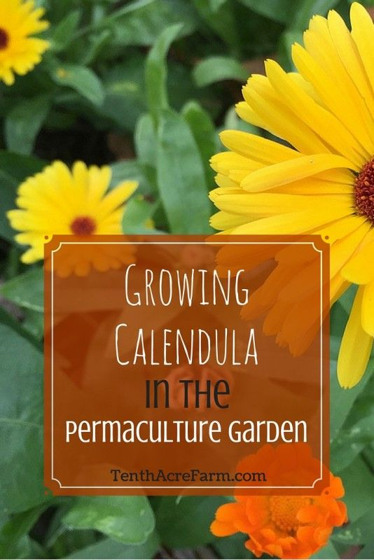 Growing Calendula in the Permaculture Garden: Here are some of the many reasons this herb is frequently grown in the permaculture garden.