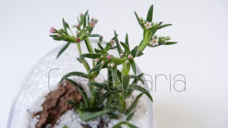flores  de crassula expansa