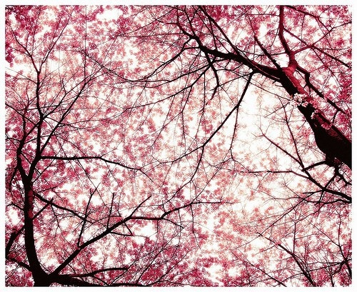 ... pretty: Cherries Blossoms, Photos Galleries, Pink Flowers, Favorite Places, Cherry Trees, Cherries Trees, Blossoms Trees, Floral Fashion, Cherry Blossoms