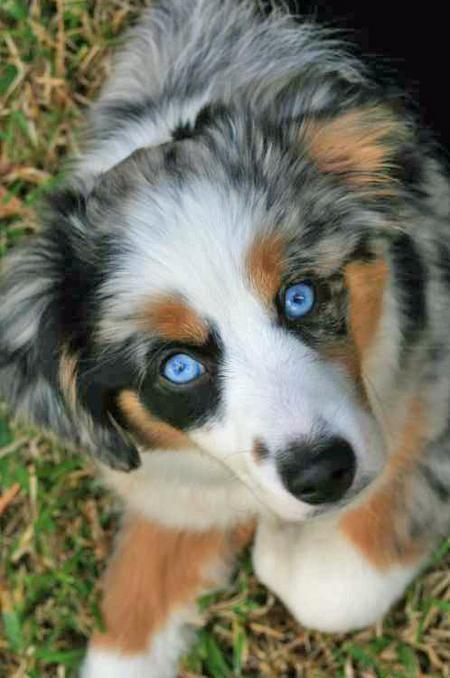 Australian Shepherd. Love the blue eyes, and Merle coat.