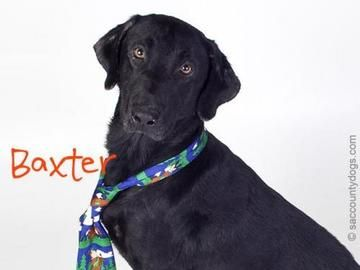 Check out *Baxter's profile on AllPaws.com and help him get adopted! *Baxter is an adorable Dog that needs a new home. https://www.allpaws.com/adopt-a-dog/labrador-retriever/6592096?social_ref=pinterest