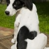 Lucky Dog! Lily, the Labrador-Catahoula pup with a Mickey Mouse-shaped spot on her lower back, meets Mickey Mouse.: Lower Back