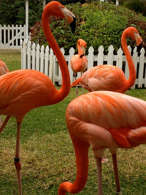 marching flamingos at Ardastra, Nassau, Bahamas - OUR grandkids marched with them!