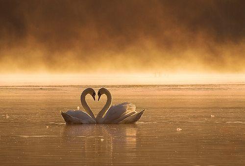couple swans  #PANDORAvalentinescontest