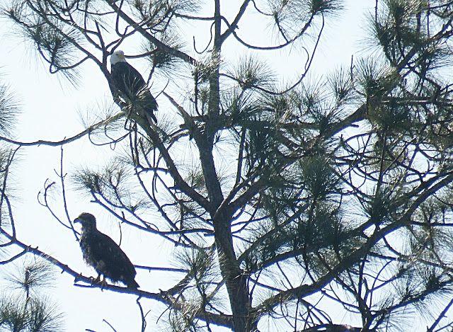 Bird Photos, Birding Sites, Bird Information: ADULT & IMMATURE BALD EAGLE, MERRITT CANAL PUMP ST...