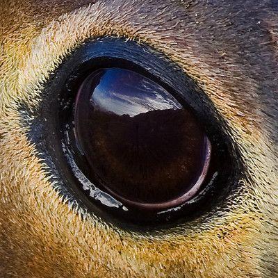 Które zwierzę ma największe oczy? kałamarnica olbrzymia! Kałamarnice olbrzymie mają największe oczy spośród wszystkich zwierząt (być może poza niepotwierdzonymi kałamarnicami kolosalnymi), o średnicy do 30 centymetrów. Duże oczy pozwalają lepiej dostrzegać skąpe światło głębin, w tym światło bioluminenscencyjne emitowane przez żywe organizmy.