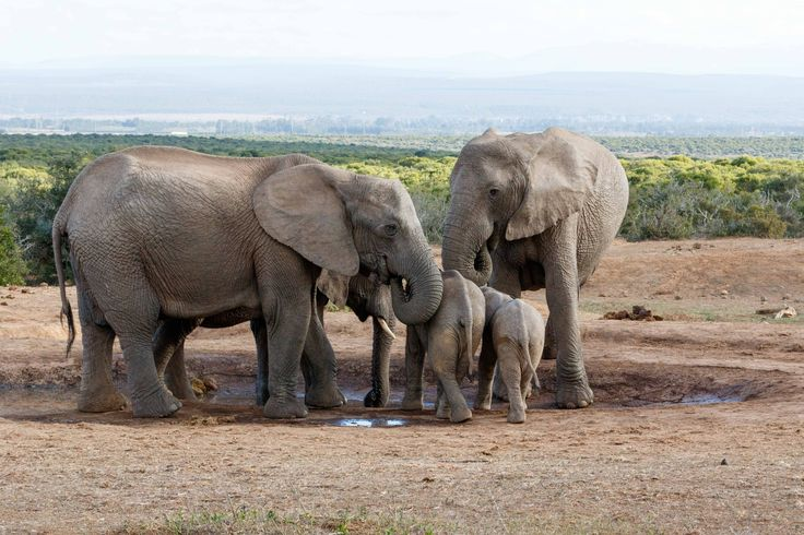 Family of African Bush Elephant protecting their young Family of African Bush Elephant protecting their young - The African bush elephant is the larger of the two species of African elephant. Both it and the African forest elephant have in the past been classified as a single species.