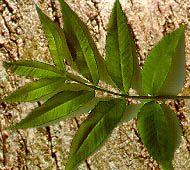 Bitternut Hickory Leaf