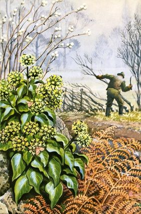 """Ivy, Berries, Hedges"" by C. F. Tunnicliffe"