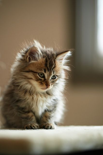 Someone please get me a long haired kitten for my birthday!!! Please!!!!