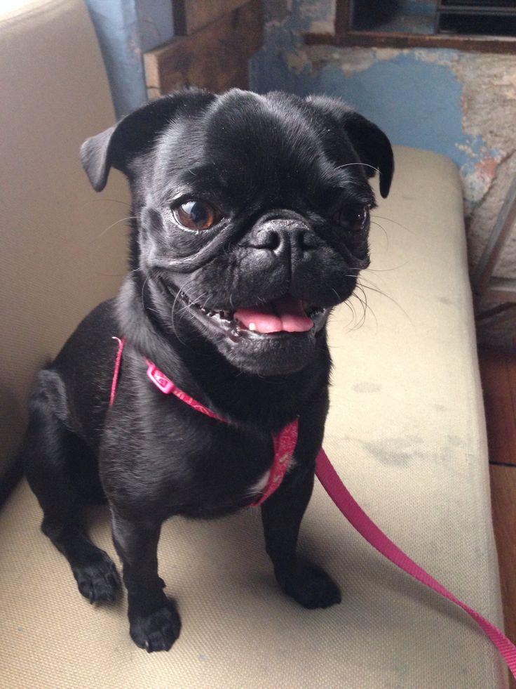 #pug #blackpug #dogfriendly #petfriendly #manceba #lovethepug