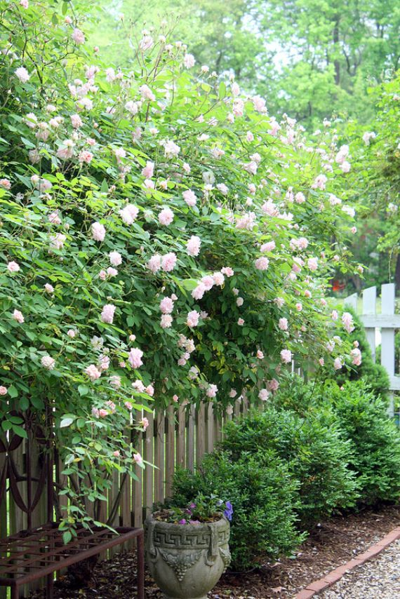 beautiful gardens + climbing roses.  I want these new dawn roses