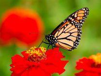 Fotos de mariposas Monarca