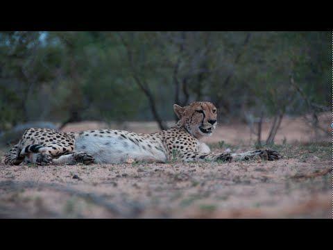 Cheetah Sighting in Klaserie