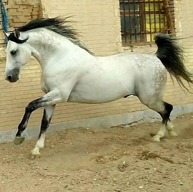 Persian Asil horse