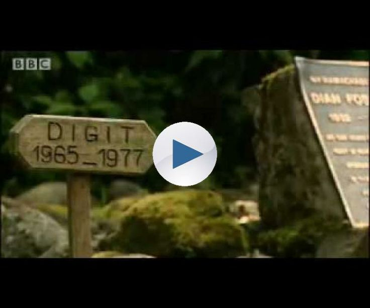 Sir David Attenborough and the BBC natural history camera crew pay their respects to Diane Fossey, a woman who gave her life whilst trying to conserve the natural habitat of the amazing mountain gorillas of Rwanda. Brilliant animal documentary video taken from the BBC show 'Gorillas Revisited with Sir David Attenborough'.