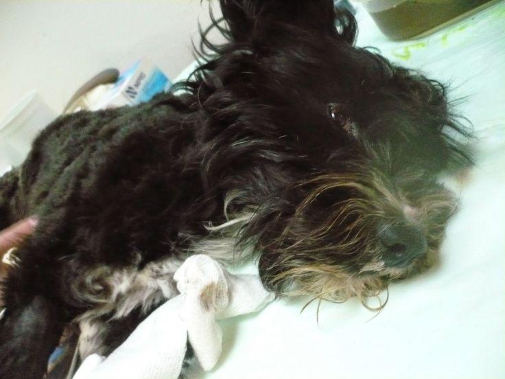 Ya conoces la historia de TULIP Sabanero? Sufrió un accidente y para tratar las secuelas, necesita donaciones en dinero!!! INFO: 864 8485 --- 311 803 12 94