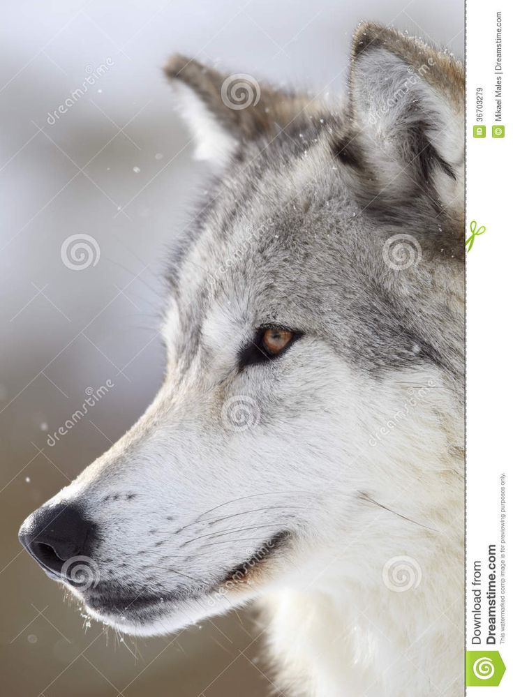 One man wolf pack stock image. Image of pack, monogamous - 36703279