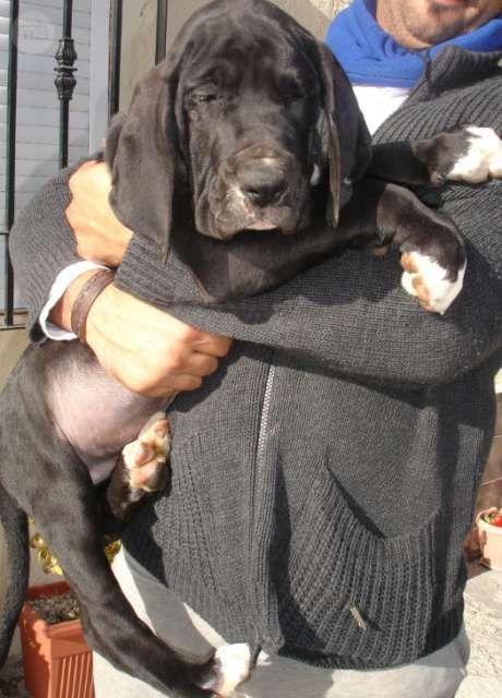 MIL ANUNCIOS.COM - Gran danes. Compra-venta de perros gran danes. Regalo de cachorros..