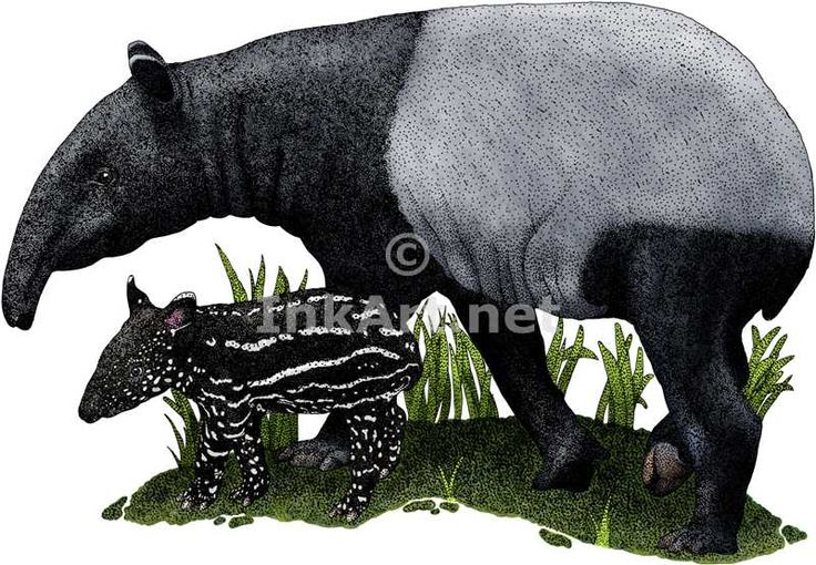 Pen and ink line art drawing of a Malayan Tapir and young (Tapirus indicus)