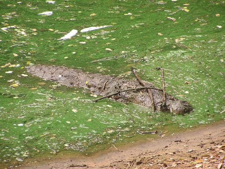 A well-camouflaged mugger crocodile displays sticks to lure prey, in India.