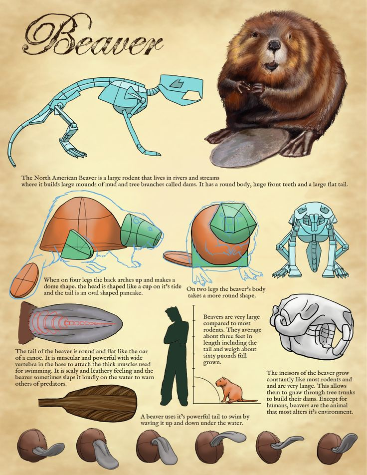 Tips on how to draw a beaver